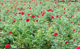 Rose Flower Cultivation Plant