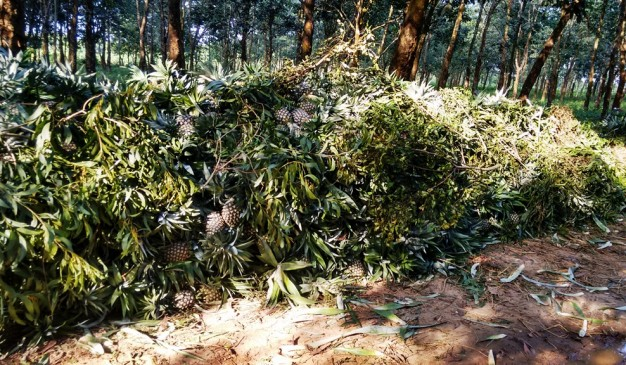image of Fulbaria Rubber Forest and Processing Industry