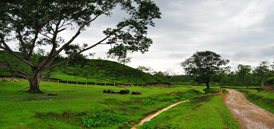DO YOU KNOW, Sreemangal (an area of 450 sq. km.) is considered as the Tea Capital of Bangladesh